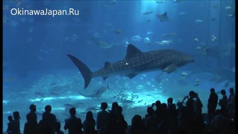 Okinawa churaumi aquarium. Аквариум Чурауми на Окинаве.