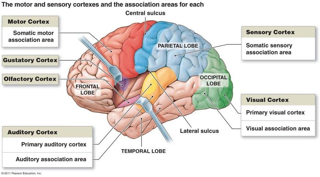Физиология: Зоны коры головного мозга