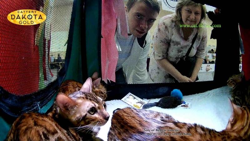15092018, Выставка кошек, Харьков, Радмир Экспохолл, WCF, 10