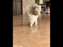 Fluffy White Cat Tries and Fails to Catch Ping Pong Ball 1021726