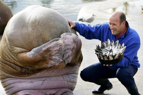 Морж скрывает лицо в смущении, когда сотрудник зоопарка дарит ему на день рождения торт, сделанный из рыбы, Норвегия.