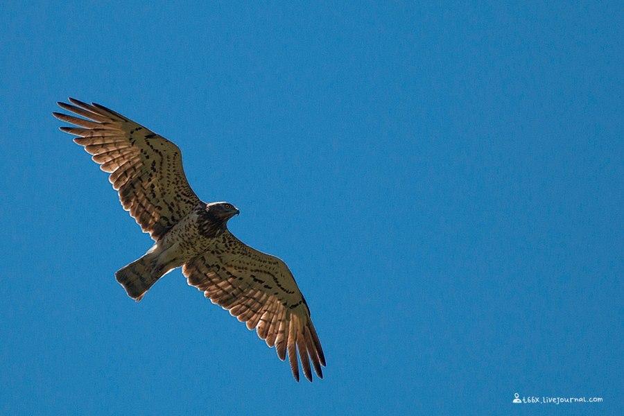 птицы Турции, орёл-змееяд, Circaetus gallicu