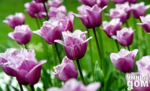 Что делать, чтобы тюльпаны стояли долго? Тюльпаны – это луковичные многолетники, которые зацветают самыми первыми после прогрева земли до оптимальной температуры. Продолжительность цветения не превышает двух недель. В срезанном виде, при правильном уходе, букет может стоять практически такой же период, как во время цветения на клумбе. Чтобы тюльпаны стояли долго, следует соблюдать определенную технику их хранения. Инструкция 1. Сразу после того, как вы срезали цветы или вам подарили букет,…