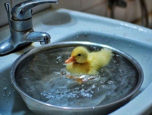 Утенок принимает ванну.