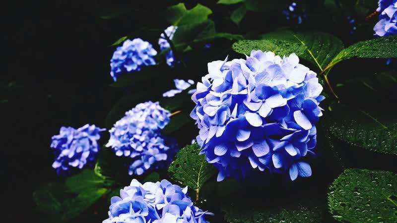 Гортензия в японии Hydrangea in Japan