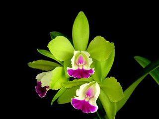 заставки Зеленая Орхидея.