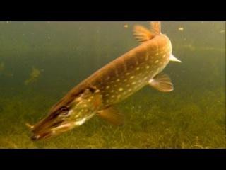 Атака щуки под водой (очень замедленная съёмка)