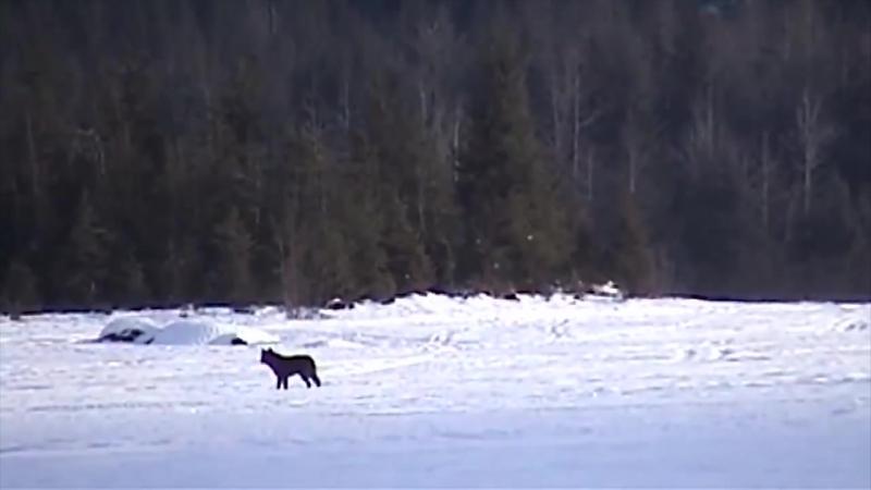Одинокий волк..
