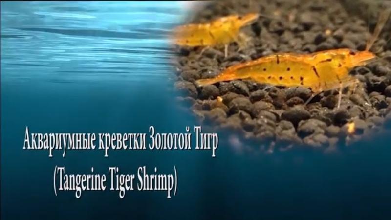 Аквариумные креветки Золотой Тигр Tangerine Tiger Shrimp