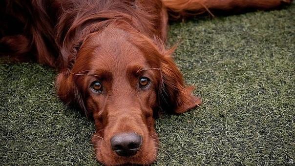 полоса отчуждения вдоль железнодорожной насыпи,по зоне,называемой полосой отчуждения шла собака. пёс шёл уже с огромным трудом,лапы были стёрты гравием до мяса,шерсть свалялась,и только