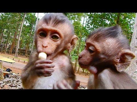 Babies Monkey Jessie and Lori Baby Monkey Look Hungry Grab Lotus Fruit, Poor Children Of Brutus