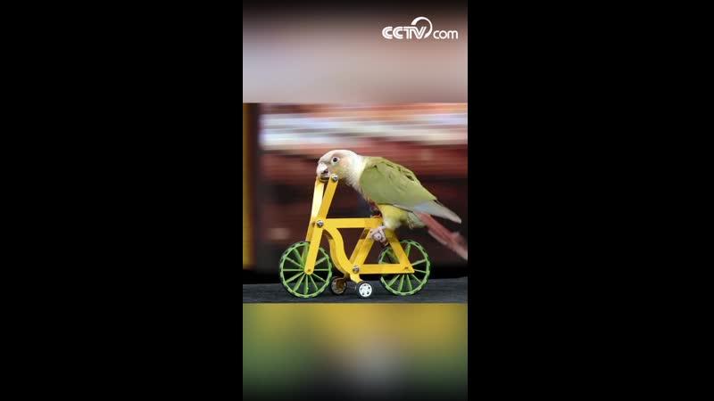 Замечательный попугай-акробат