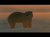 Полярные медведи и гризли The Natural World. Polar bears and grizzlies