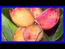 Pisas y hasta le Pasas por el lado a este Fruto pero con el Puedes tratar más de 5 Enfermedades