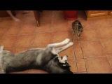Хаски знакомится с испуганной кошкой *___*