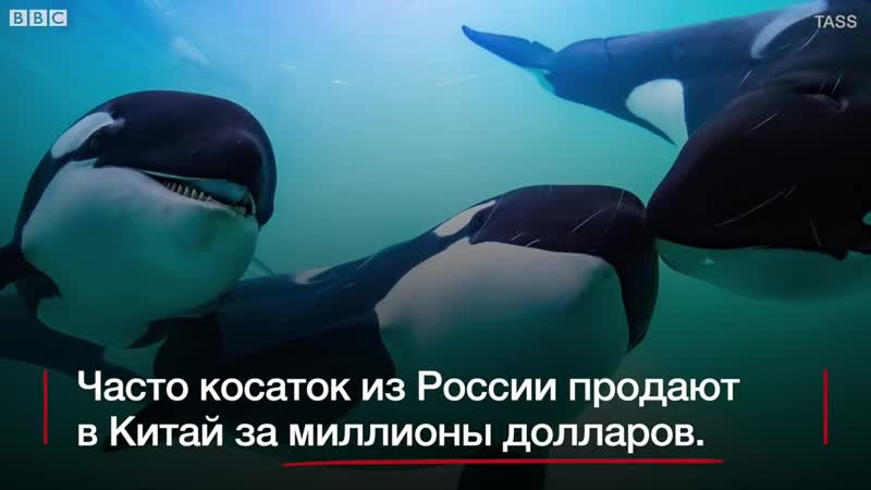 ШОК Бизнес на китах в России ловят косаток и продают китайцам