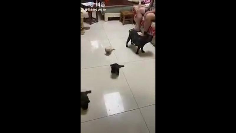 Если у вас в квартире скользкие полы, то щенки легко превращаются в головастиков