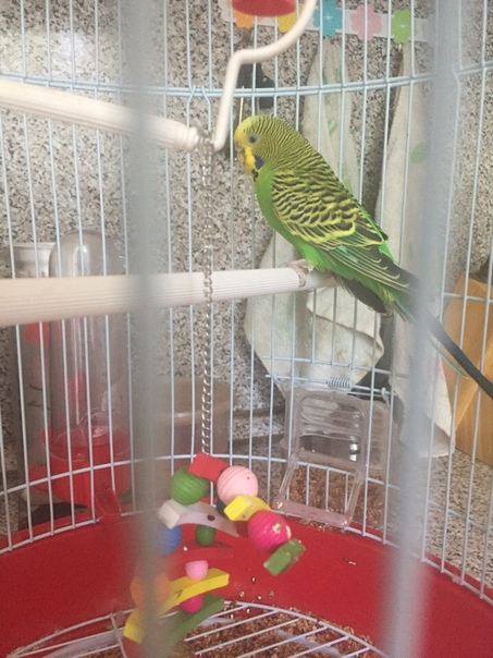 Продам молодого попугая (мальчик)