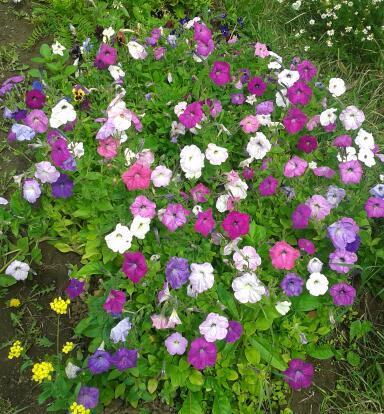 Цветы у Ликки 0Ol42_l0zTM