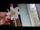 Мои любимые цветочки. Чудесный эухарис.Орхидеи наращивают тцветоносы.