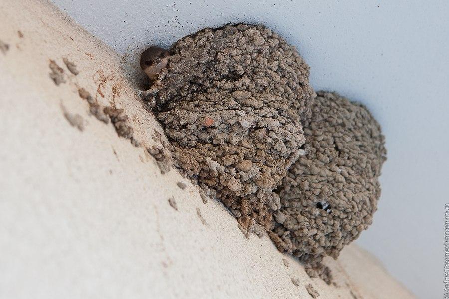птенец ласточки в гнезде