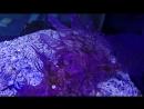 Rhinopias frondosa Скорпена рыба GoPro Аквариум Маврикий