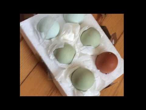 Yeşil ve Mavi yumurta civcivleri.