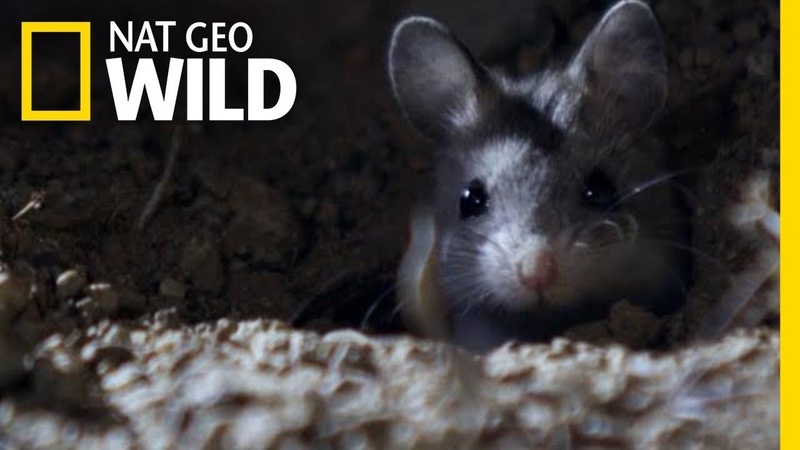 The Grasshopper Mouse Is a Killer Howling Rodent Nat Geo Wild