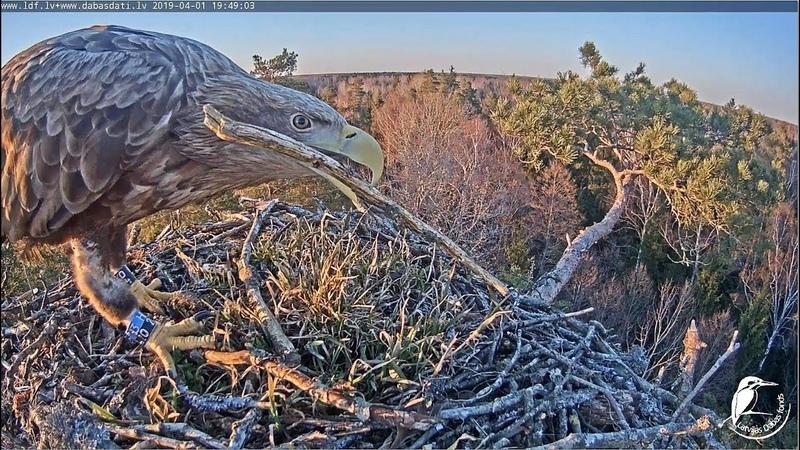LDF Zivjērglis~Ringed White Tailed Eagle visit the nest~19:48 PM 2019/04/01