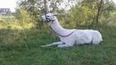 Ламы и лошади