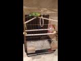 Моя Мелисса) волнистый попугай