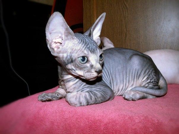 Доброго времени суток питомник восточных кошек ЦВЕТОК САКУРЫ предлагает к