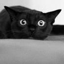 Принесёт ли чёрный кот несчастье, главным образом, зависит от того, человек ты или мышь.