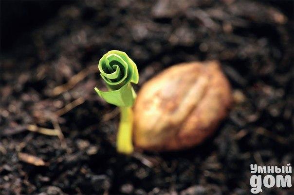 """🌽Замочите семена в .... водке! 🌽 Обычно семена моркови, петрушки, сельдерея, укропа и др культур плохо прорастают. Я прочла такой совет. Нужно провести предпосадочную обработку семян. Для этого семена замочить в водке. Положить в марлевый мешочек и опустить в водку на 15 минут. Не больше! За это время большая часть эфирных масел, которые """"окутывают""""семена,растворяется. Затем необходимо несколько раз тщательно прополоскать мешочек с семенами в проточной прохладной воде. После этого…"""