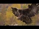 Нападения орлов на животных и людей, снятые на камеру.