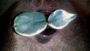 Хойя Argentea бриллиант моей коллекции. Мои новинки Часть 1