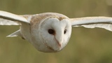 Graceful Barn Owl Hunting in the Daytime BBC Earth