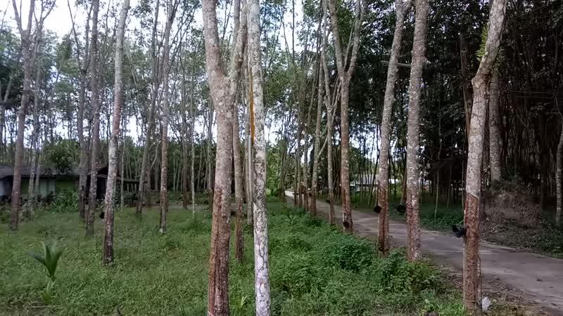 Мандариновые деревья в Таиланде