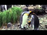 Король пингвинов Трейлер HD русский 2013 для letitbit-movie.com