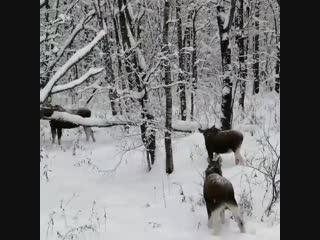 Лоси на обочине трассы Иваново - Владимир