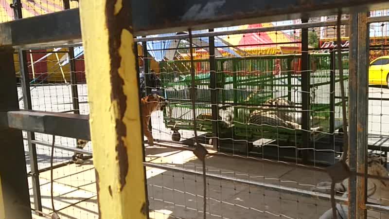 белые тигры Рязань цирк demidov премьер большие кошки киски