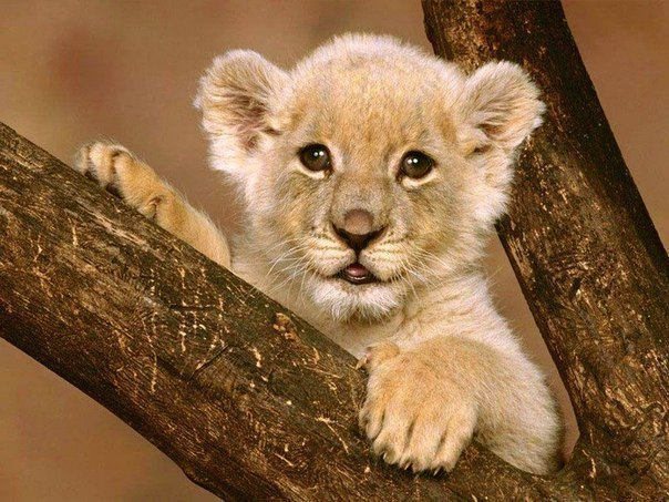 25 коротких фактов о животных 1. Комнатные мухи, хоть и живут 14 дней, имеют хороших слух. Все они жужжат на тональности фа мажор. 2. Страусы могут бежать быстрее, чем лошадь, а самец страуса может реветь не хуже льва. 3. Летучие мыши - единственные млекопитающие, которые могут летать 4. Кенгуру используют свои хвосты для равновесия, так что если вы поднимите хвост кенгуру над землей, он не сможет прыгать. 5. По статистике на акр земли приходится 50000 пауков. 6. Тигриные полосы уникальны, как…