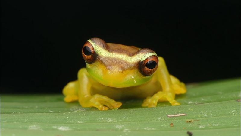 Slender-legged Treefrog from the Ecuadorian Amazon rainforest