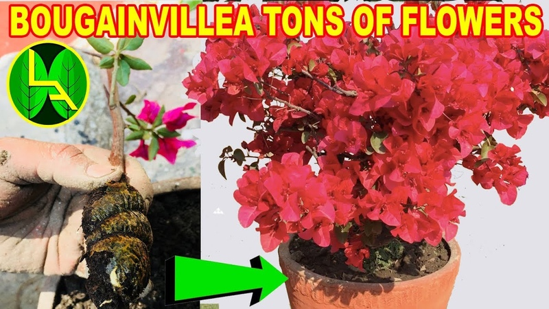 How to make your own Bougainvillea plant - a must have plant
