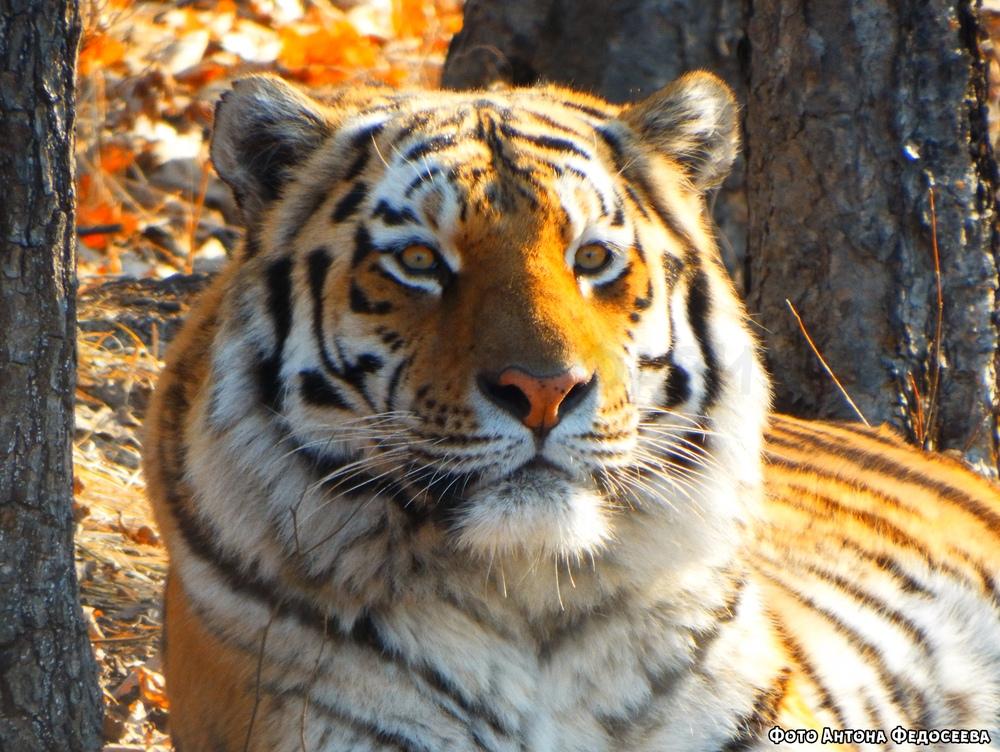 Как отжать самого известного тигра в мире для несуществующего парка