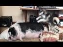 DOG TRIES TO WAKE UP SLEEPING PIG