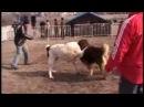 Бой деда Тахи (Бульдозера) и Барона (кавказский волкодав