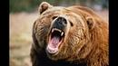 пьяный жирдяй потревожил медведя ШОК !