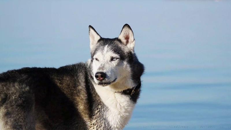 Siberia husky Smoki Novosibirsk Russia