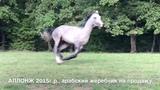 Продажа лошадей арабской породы конефермы Эквилайн, тел., WhatsApp +79883400208 (АЛЛОНЖ 2015г.р.)